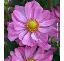 ANEMONE CURTAIN CALL PINK 1g