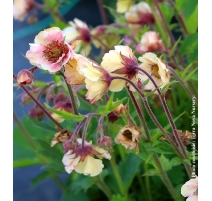 GEUM TEMPO YELLOW 1g