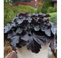 HEUCHERA BLACK PEARL 1g