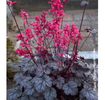 HEUCHERA TIMELESS TREASURE 1g
