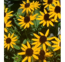 RUDBECKIA LITTLE GOLDSTAR 2g