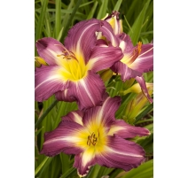 HEMEROCALLIS SWIRLING WATER / POURPRE num 1