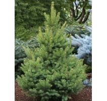 Picea glauca North Pole 7 gal