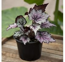 """Begonia Rex 3.5"""""""
