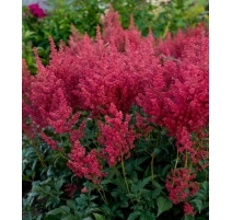 ASTILBE MONTGOMERY / ROUGE FONCE num.1