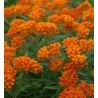 ASCLEPIAS TUBEROSA / ORANGE numero 2