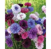 Centaurée Bleuet mélange coloré de grandes fleurs doubles - Semences