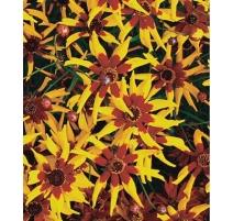 Coréopsis mardi Gras - Semences