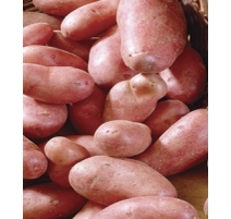 Patate Chieftain 2kg (Rouge)