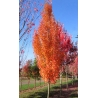 Acer rubrum Armstrong Gold
