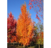Acer Rubrum Armstrong 15G/20G 40MM
