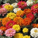 Semence de Fleurs